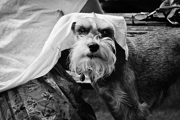 dog-photogaphy-brighton-schnauzer