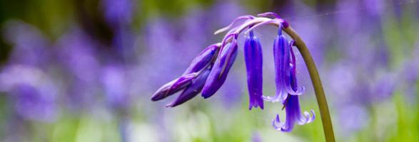 Bluebells-Sussex