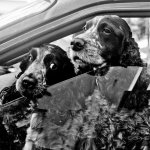 dog exhibit - Spaniels Wait for Mum